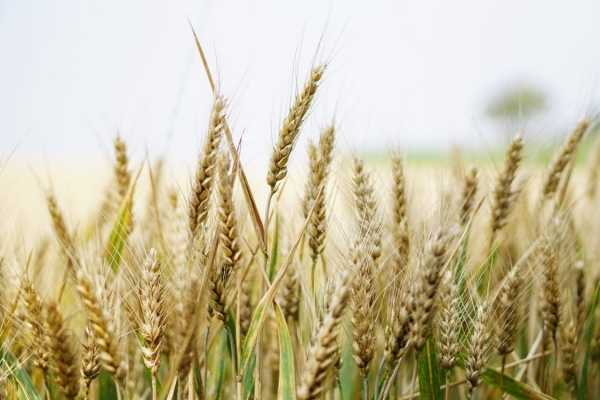agriculture-arable-barley-close-up