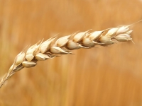 wheat-grains-closeup-photography